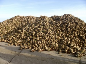 Sugar beet now stored on the perimeter track at Parham.